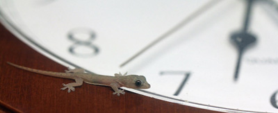 Gecko_Time_2_22213_IMG_7524Small